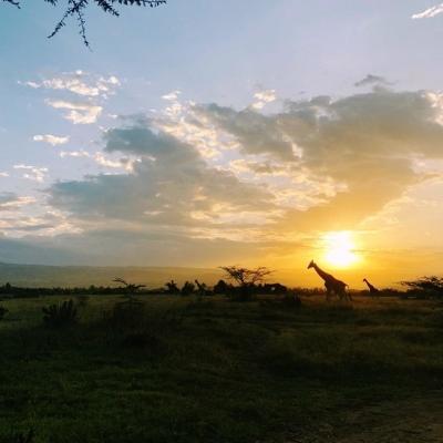 環境保護ボランティア稲澤ひかりさんがケニアの大地で見たキリン